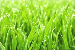 大麦若葉の栄養素
