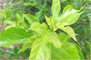桑の葉 栄養素